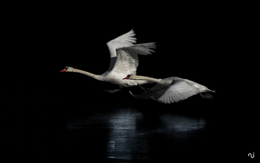 swan-01.jpg